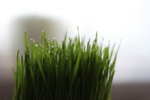 wheatgrass benefits - improve digestion