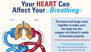 how do the heart and lungs work together